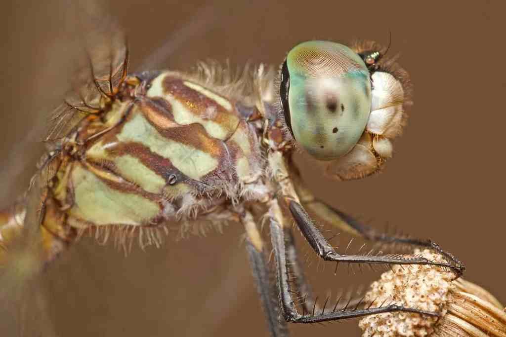 Close up of blue dasher dragonfly