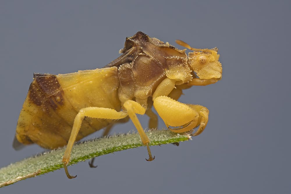 Close up of jagged ambush bug