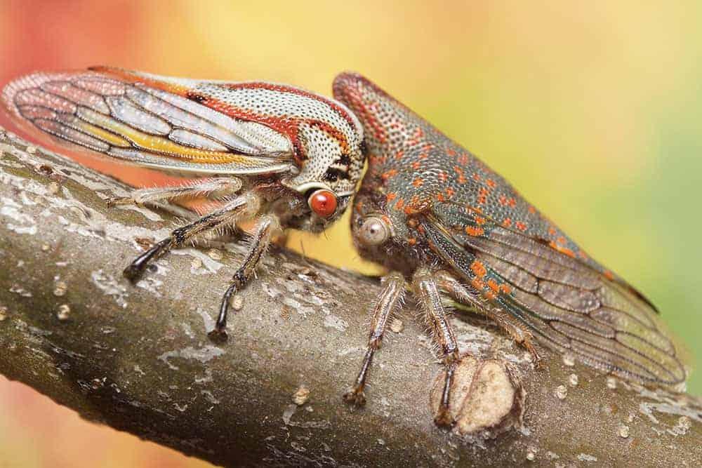 Oak treehopper offspring and mother