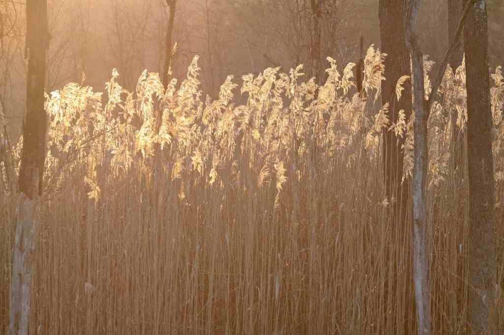 Invasive plant phragmites in a wetland