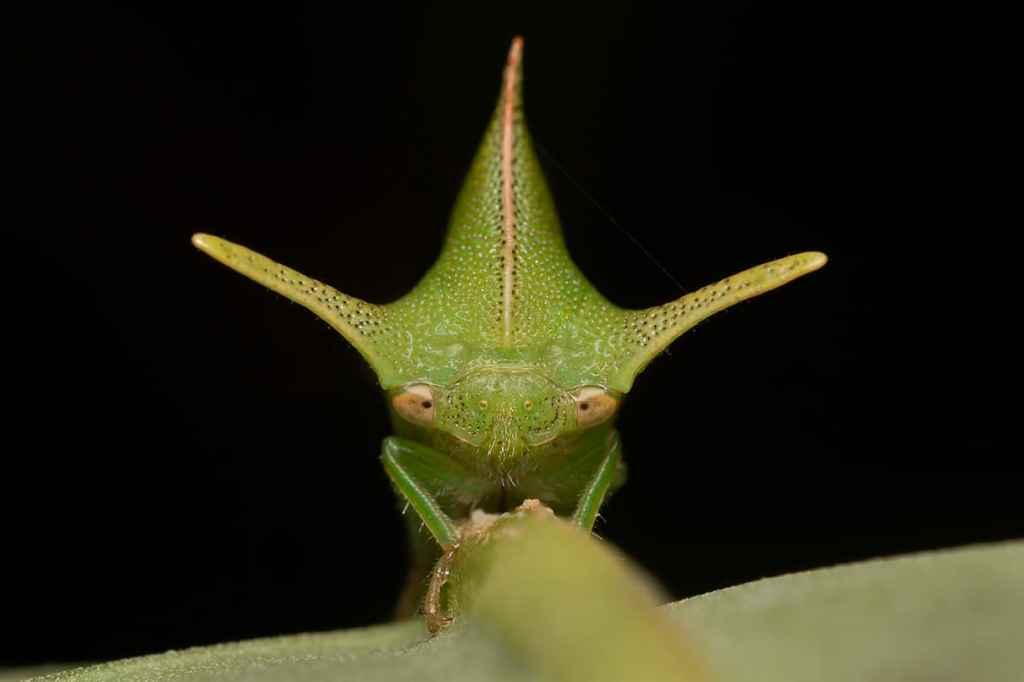 Green treehopper