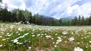 Field of daisies in Jasper