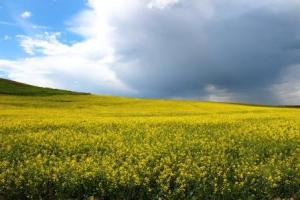 Bright yellow fields of Canola