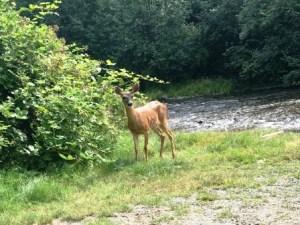 mule deer in elk falls provincial park