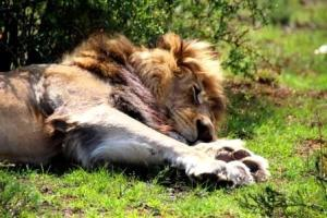 Its deadly to cuddle a lion in more ways than one