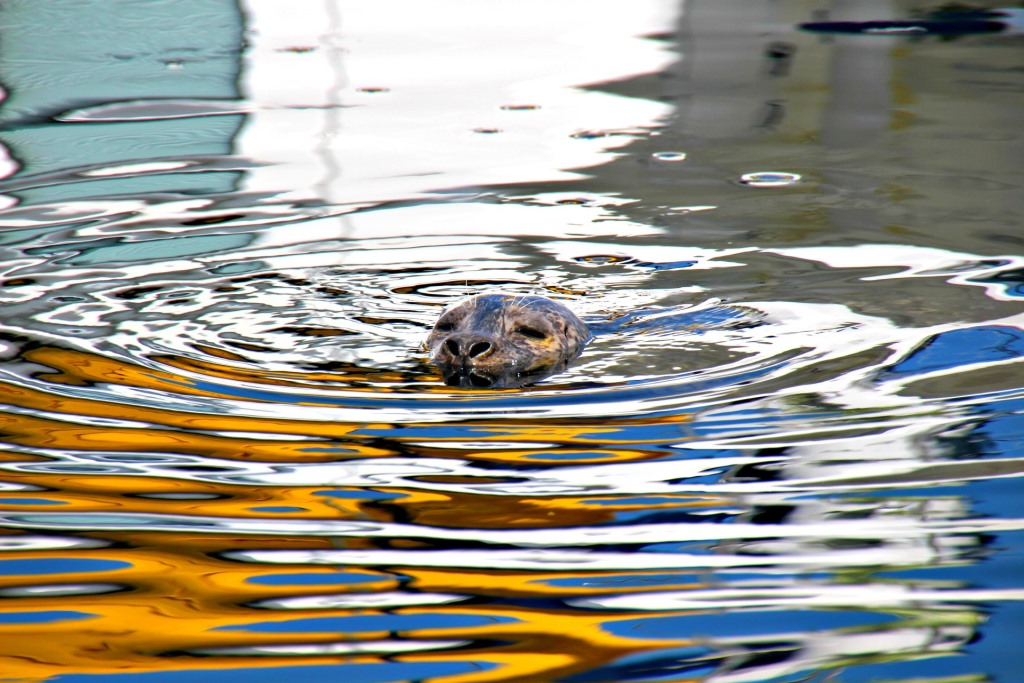 A cute fat seal at the marina