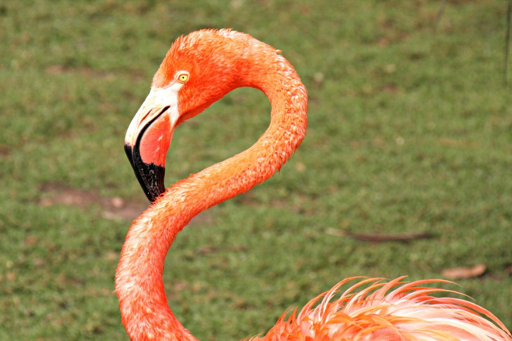 Even this exotic Carribean Flamingo feels right at home at Birds of Eden