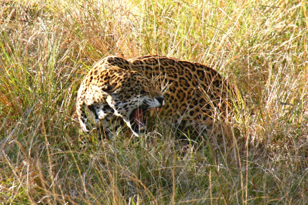 jaguar at Jukani Wildlife Sanctuary in South Africa