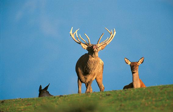 Red deer. Flehmen. Cerf élaphe. Cervus elaphus.