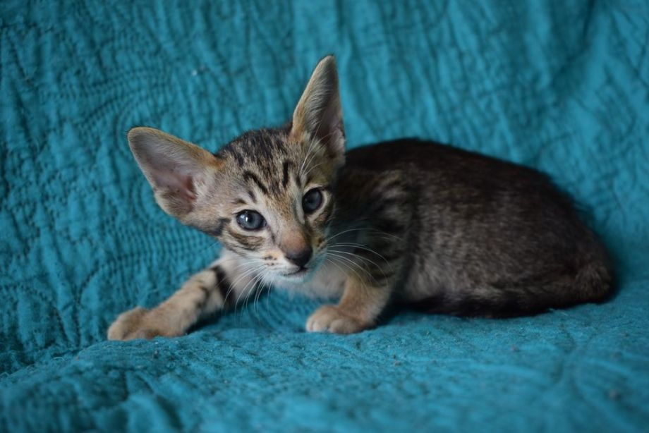 Oriental brown spotted tabby