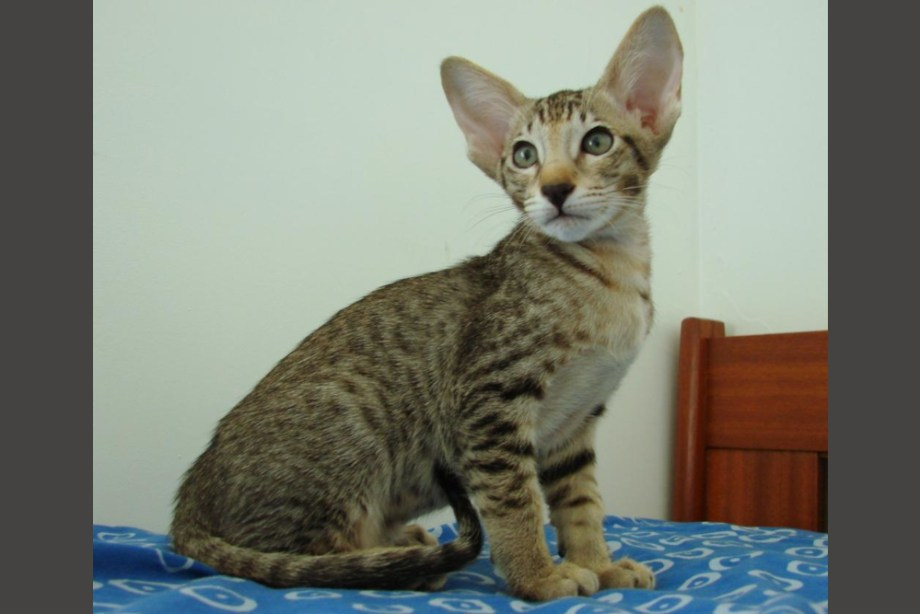 Oriental chocolat spotted tabby