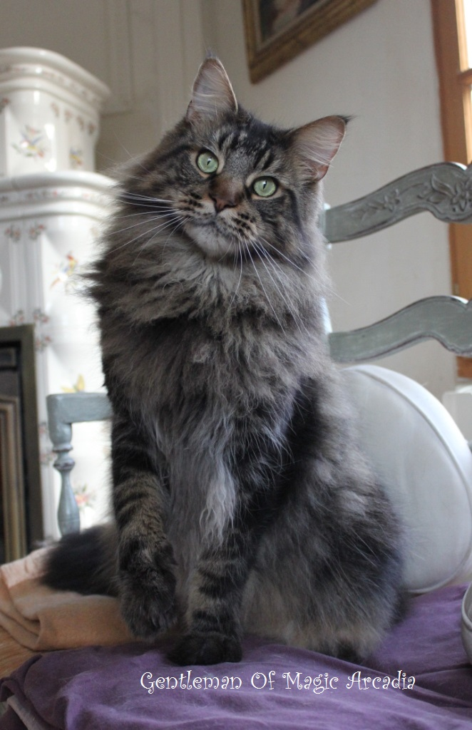 Les couleurs chez le Maine Coon  Chatterie of Magic Arcadia