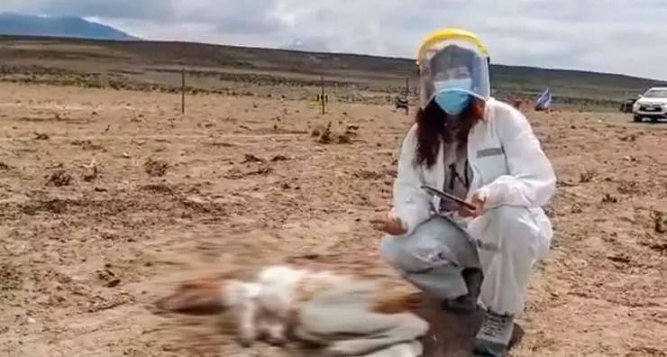 Uma misteriosa criatura já drenou o sangue de mais de 50 animais no Chile