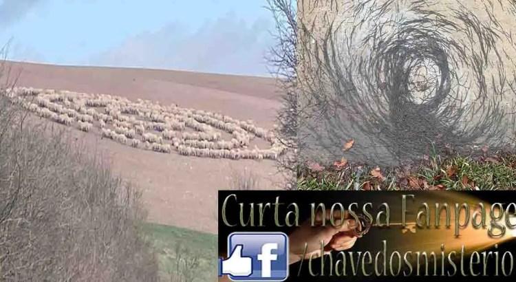 Ovelhas fazem estranhas figuras no campo