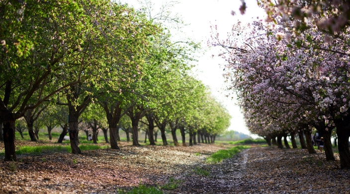 Almond trees in an Israeli orchard