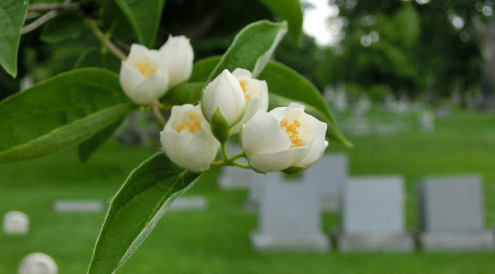 Closeup of flowers blooming on a tree with a blurry view of headstones in the background as if at a cemetery