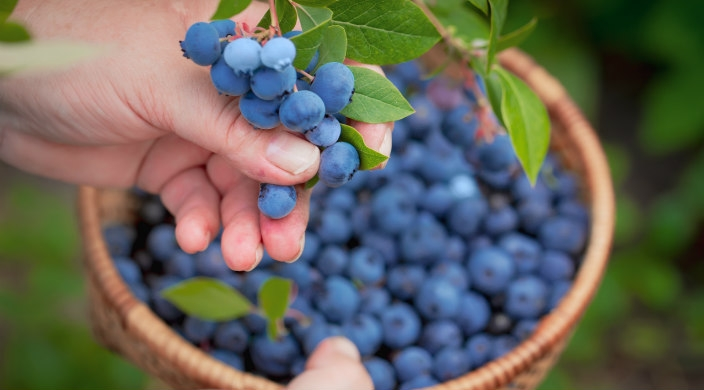 Hand picking blueberries and collecting them in a basket