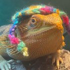 My Jewish lizard :)