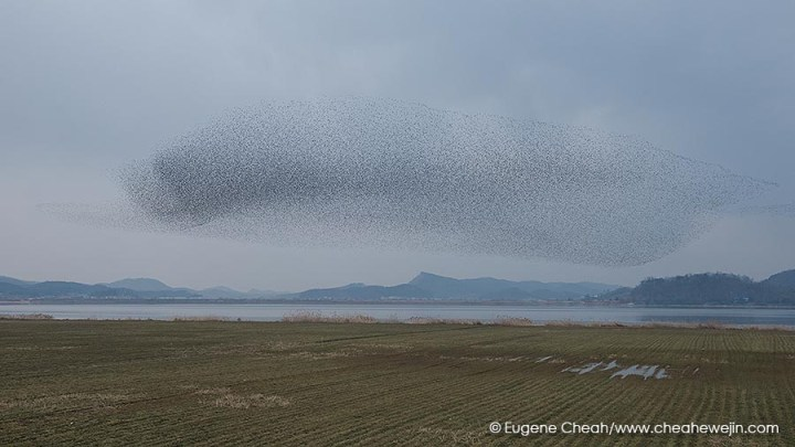 Baikal Teal formation at Geumgang Estuary