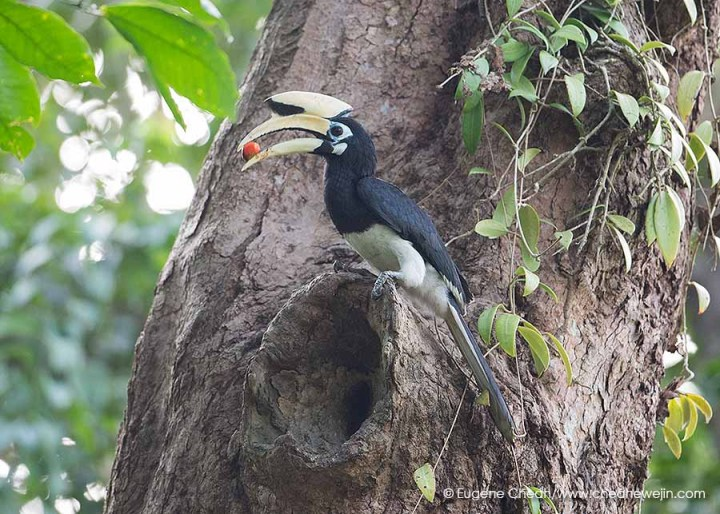 Pied Hornbill at Singapore