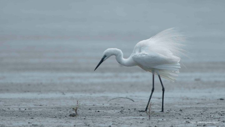 Egret – good subject for photography