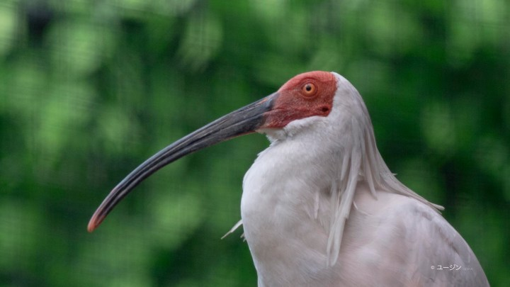 Japanese Crested Ibis or Toki at Nagaoka Toki learning Center 'Toki Miite'