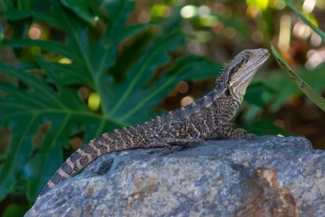 Water Dragon at Mount Coot-tha Botanic Garden
