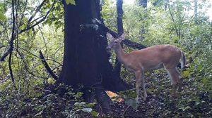 deer farting