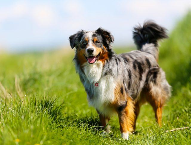 Australian shepherd standing in the grass