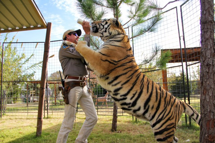 Joe Exotic feeds a tiger