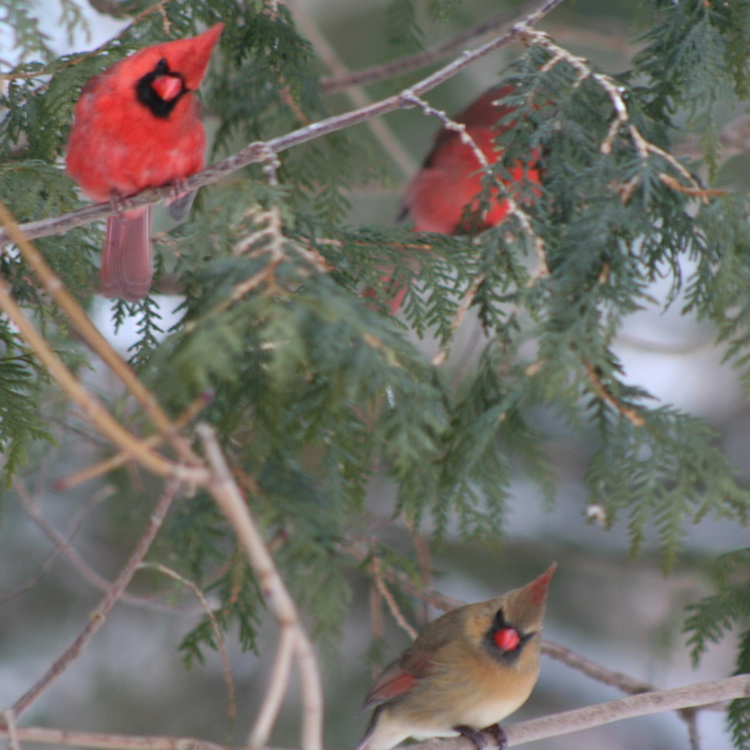 Image result for images of birds in winter singing in a tree of snow