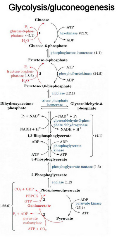 glycolysis cycle diagram 2001 ford explorer radio wiring gluconeogenesis - definition, pathway (cycle), diagram, and steps (updated 2018)