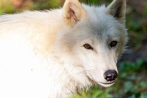 Polarwolf   Foto: Harry Schiffer