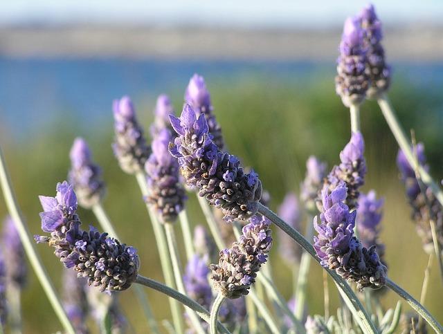 https://i0.wp.com/www.chefursula.com/wp-content/uploads/2014/07/lavender-19235_640.jpg