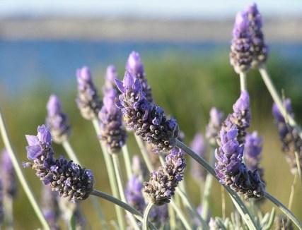 https://i0.wp.com/www.chefursula.com/wp-content/uploads/2014/07/lavender-19235_640.jpg?resize=427%2C326