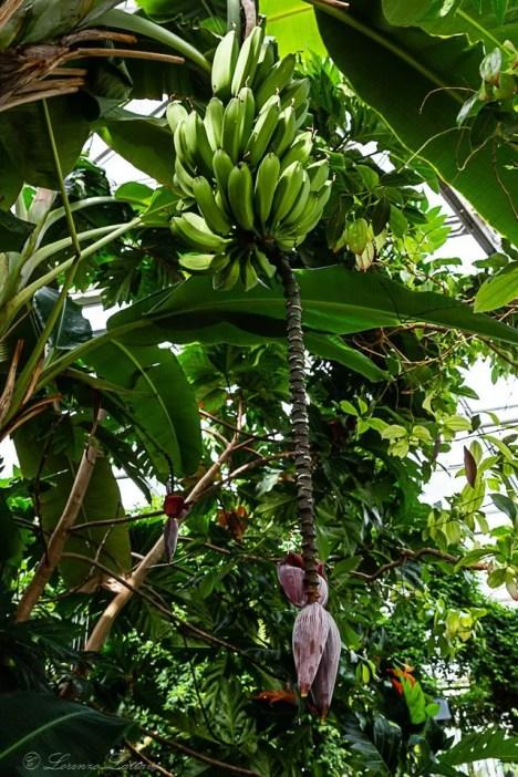 banane nella serra tropicale del muse
