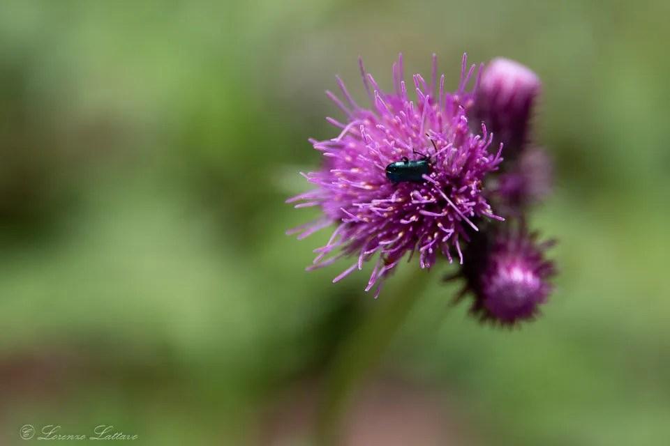 insetto su fiore al lago di tovel in trentino