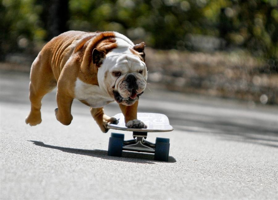 Tillman The Skateboarding British Bulldog