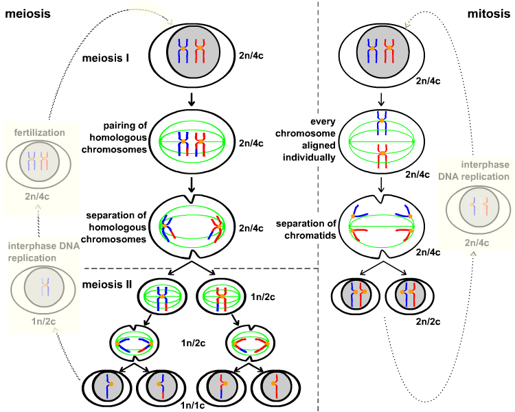meiosis 1 diagram 98 civic wiring cell cycle mitosis and chemgapedia comparison of