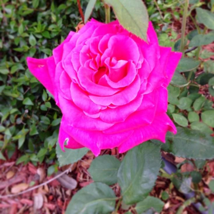 DIY Rose Trellis | Chemistry Cachet