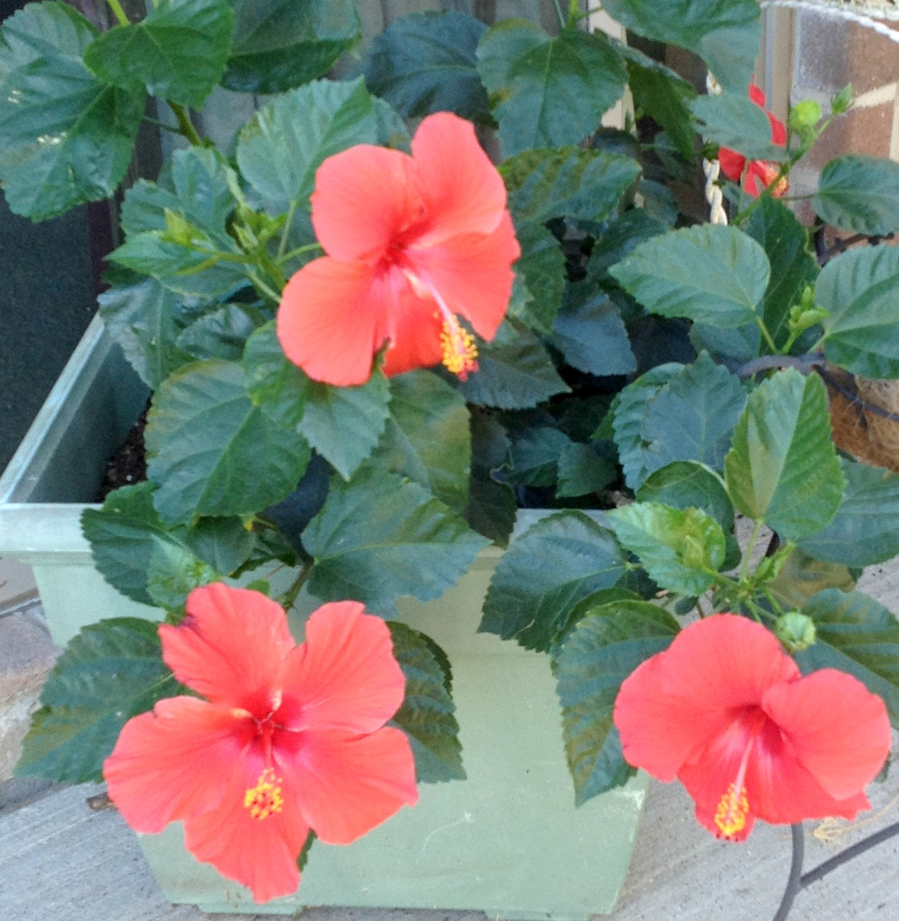 Five easy tips on potted hibiscus they like shade and a little sun izmirmasajfo