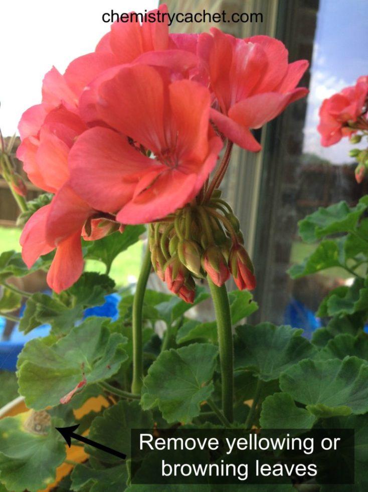 Summer Tips to follow for Geranium care on chemistrycachet.com