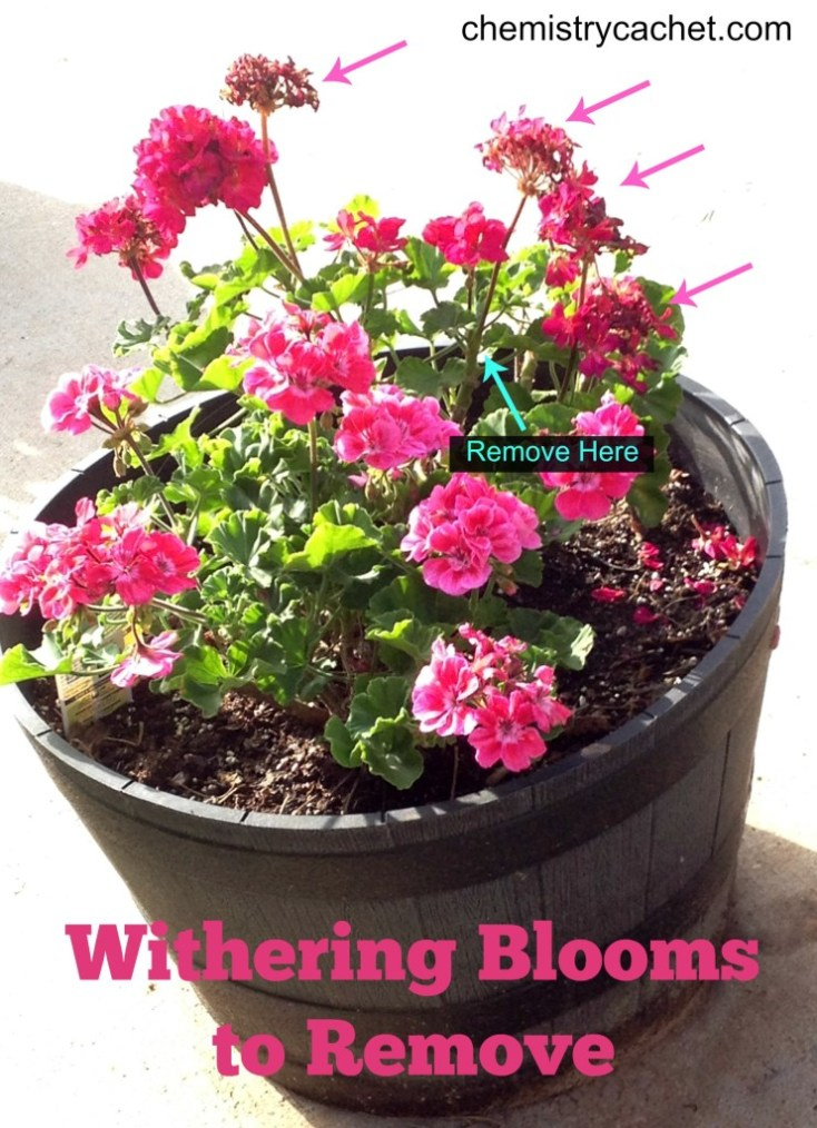 Summer tip #3 for geraniums is to remove withering blooms immediately! on chemistrycachet.com