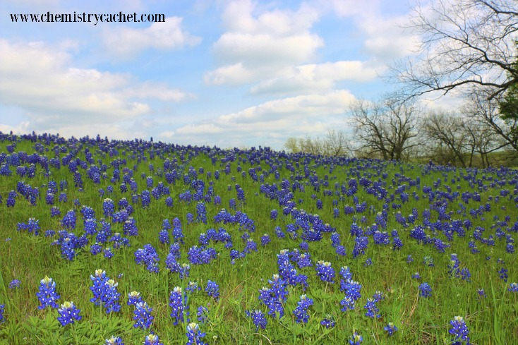 7 Unmistakable Signs Spring is Coming in Texas (or anywhere!) like the beautiful bluebonnets on chemistrycachet.com