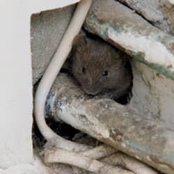 Why Do Mice Squeak? - ChemTec Pest Control