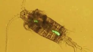 Zooplankton microplastic