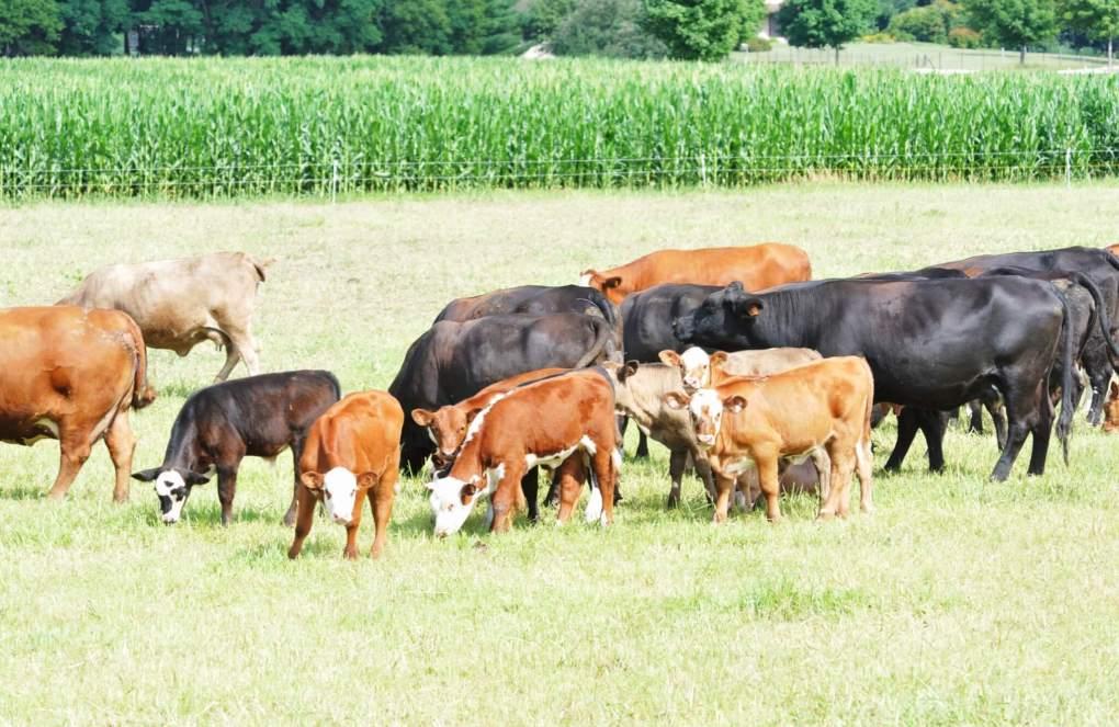 beef cattle grazing