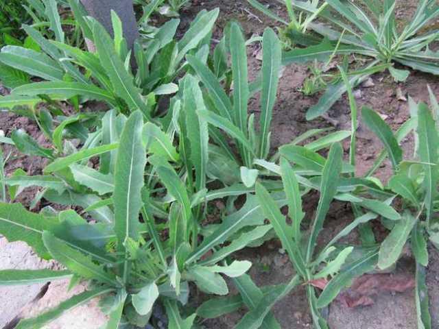 herba-patriniae-bai-jiang-cao-%e8%b4%a5%e9%85%b1%e8%8d%89