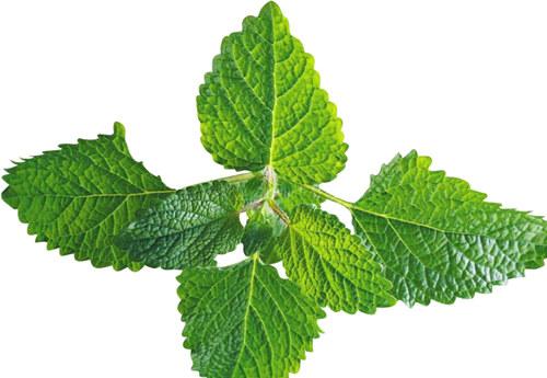 herba-menthae-bo-he-%e8%96%84%e8%8d%b7
