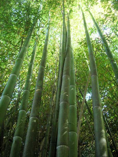 herba-lophatheri-dan-zhu-ye-%e6%b7%a1%e7%ab%b9%e5%8f%b6